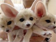 adorable fennec fox for sale
