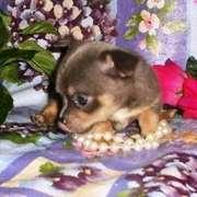 Price Lowerd Chihuahua