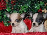 CHIHUAHUA  PUPPIES FOR REHOMING FOR THEIR NEW HOME