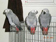 Hand Raised Congo African Grey Parrots