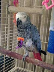 tamed free congo grey parrots for christmas
